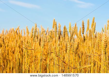 Golden wheat against nature the blue sky