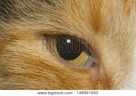 yellow eye of red cat closeup shot