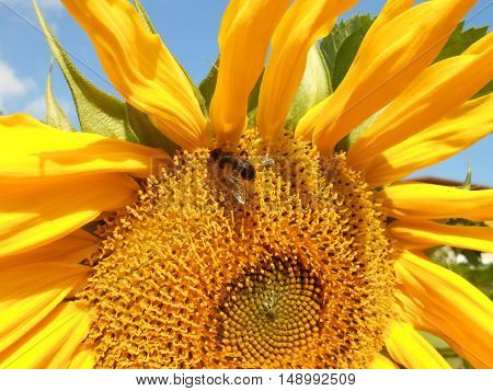 Bee collecting fine dust from the sunflower