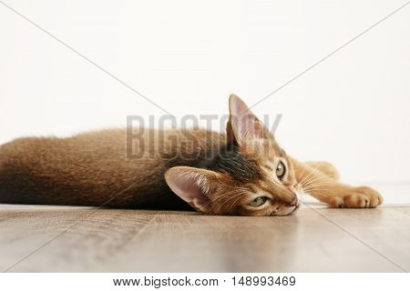 wild color abyssinian kitten 3 month lying on table looking to camera, tired