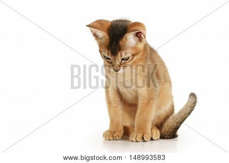 wild color abyssinian kitten 3 month sitting on white background looking down, isolated