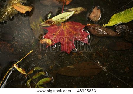 red autumn leaf in a puddle close up, shallow focus