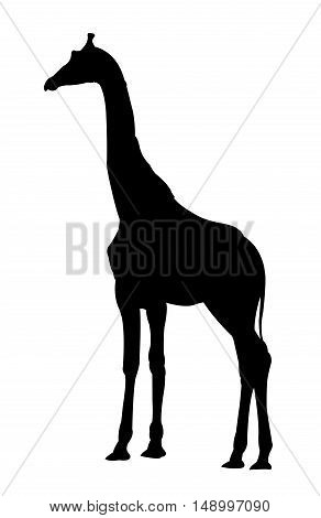 Side View of Giraffe Standing Silhouette on White Background. Isolated vector illustration animal theme.