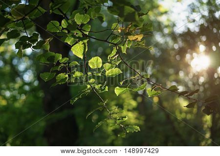 linden leaves in sunset light in early autumn, shallow focus