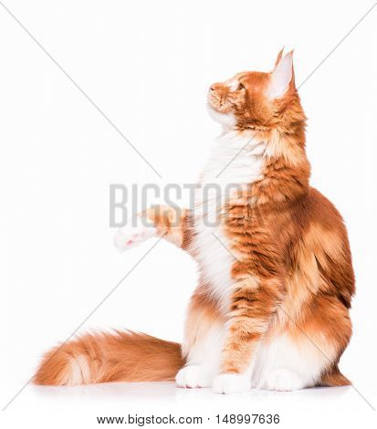Portrait of domestic red Maine Coon kitten - 8 months old. Side view of a curious young orange striped kitty. Funny playful kitty swinging its paw and looking away, isolated on white background.