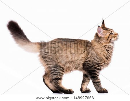 Portrait of domestic black tabby Maine Coon kitten - 5 months old. Side view of a curious striped kitty walking, isolated on white background. Young cat walks and looking away.