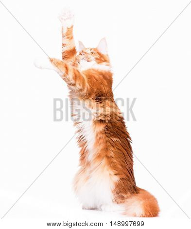 Domestic red Maine Coon kitten - 8 months old. Curious young orange striped kitty standing up on hind legs with front paws up to bat and play. Funny playful cat, isolated on white background.
