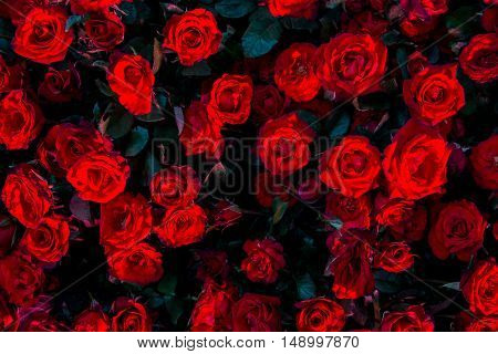 Red roses flower background - natural texture of love