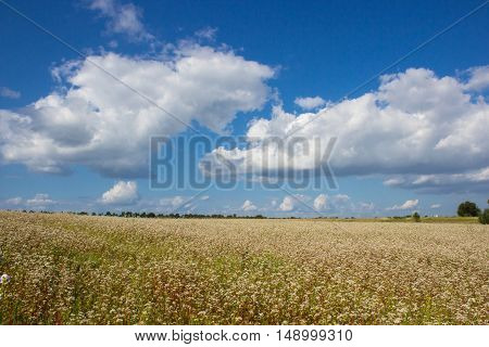 Ukrainian agricultural landscape with blossoming buckwheat field
