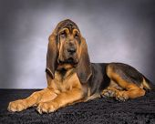 foto of bloodhound  - Photo of an American Bloodhound Puppy dog - JPG