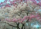 stock photo of cherry blossom  - A stunning photo of white and pink cherry blossoms during the 2007 National Cherry Blossom Festival in Washington DC - JPG