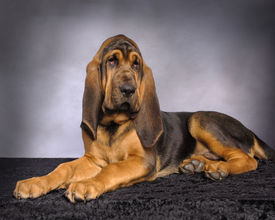 pic of bloodhound  - Photo of an American Bloodhound Puppy dog - JPG