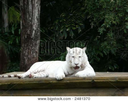 White Bangal Tiger
