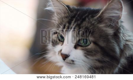 poster of Cat. Portrait Of Beautiful Gray Cat Close Up. Cat With Green Eays, Face Close Up. Portrait Of A Dome