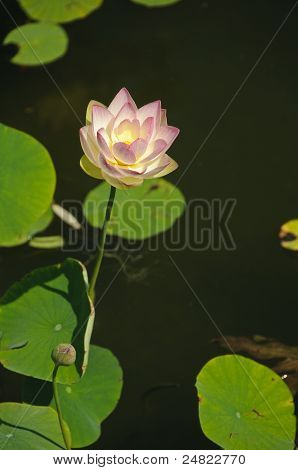 White And Pink Waterlily (Nymphaeaceae - Nymphaea Alba)