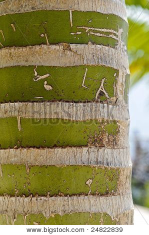 New Caledonian Palm (Kentiopsis Oliviformis) Trunk