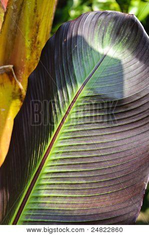 Banana Palm (musa Acuminata Colla) Leaf