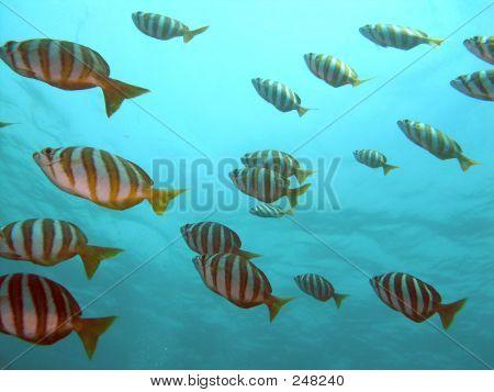 Footballer Fish