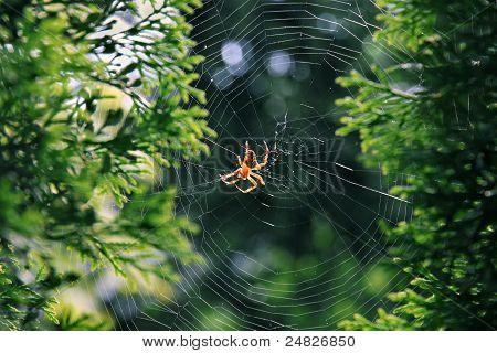 Garden Spider (araneus Diadematus).
