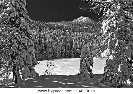 Infrared pine Forest
