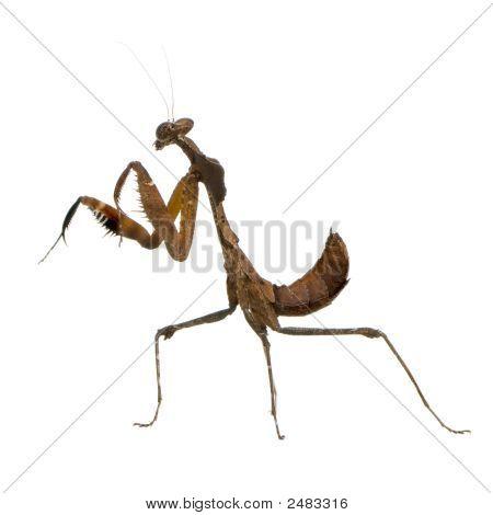 Young Praying Mantis - Deroplatys Desiccata
