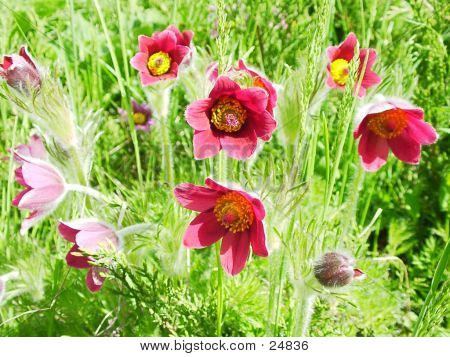 Pasque Flowers.
