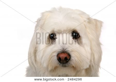Sad White Dog