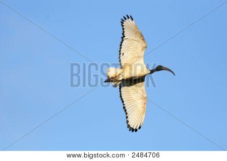 Sacred Ibis Raw_0045