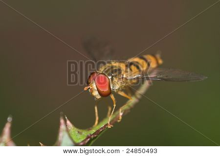 Hoverfly Close-up 2