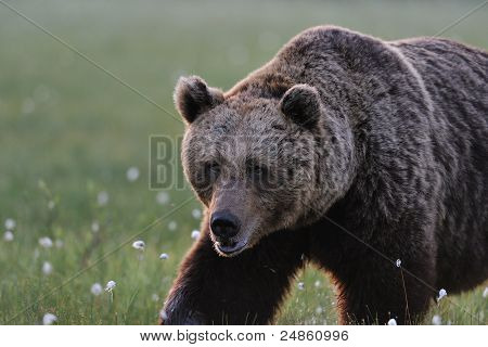 Big Male Bear Walking