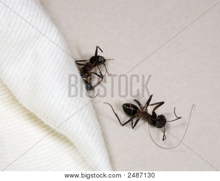 Two Dead Ants In Hotel