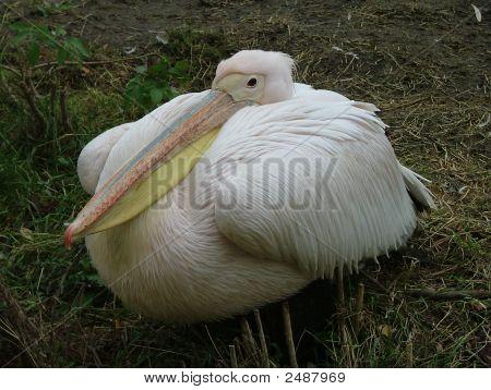 Eastern White Pelican