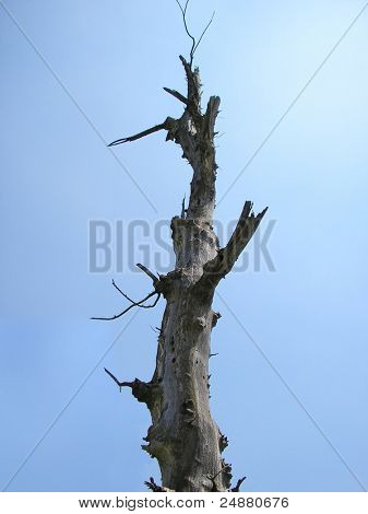 Dead Tree, Tall, Isolated On Sky