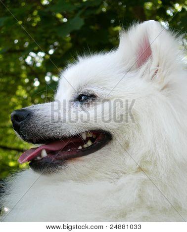 Japanese Spitz. Cute white pet dog profile