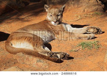 Cougar, Mountain Lion