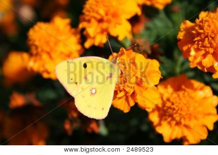 Clouded Sulphur Butterfly Over Yellow Targetes Flowers