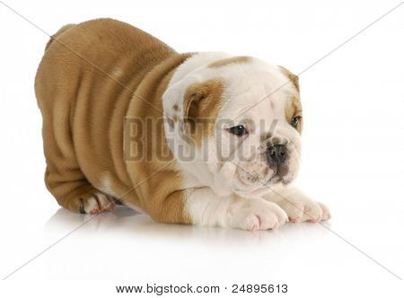 cute puppy - english bulldog puppy with bum in the air on white background - 6.5 weeks old