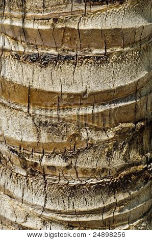 Coconut Palm (cocos Nucifera) Trunk