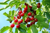 Ripe Cherry Hanging On Branch. Red Berries Of Cherry Hang On Tree In Sunny Rays. Cluster Of Ripe Che poster
