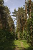 Country Landscape, Coniferous Forest With Footpath, Sunny Summer Day poster