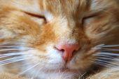 Sleeping Ginger Cat Close-up Pink Cats Nose Muzzle Near poster