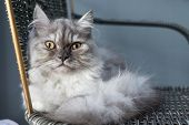 Portrait Of Grey Cat Cute Relaxing poster