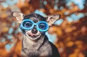 cute chihuahua wearing goggles and poking his tongue out toned with a retro vintage instagram filter poster