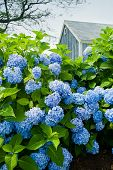 image of hydrangea  - Hydrangea flowers with a small blue cottage in the background - JPG