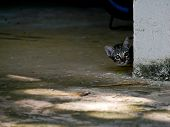 Little Tabby Cat Kitten Sneaky Peak Behind The Wall Corner poster