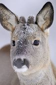 pic of roebuck  - Roebuck portrait at a very close in winter - JPG