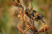 European Starling - Sturnus Vulgaris Pollinating The Australian Flowers. European Bird Introduced To poster
