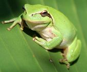 foto of tree frog  - A beautiful little tree frog taken in France - JPG
