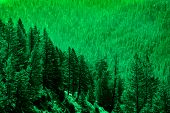 Pine forest in wilderness mountains pine trees new growth poster