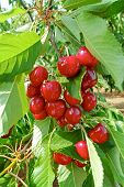 Cherry Tree Orchard With Fresh Ripe Cherries Fruits Near Cipy Turi, Capital Of Cherry In Apulia, Ita poster